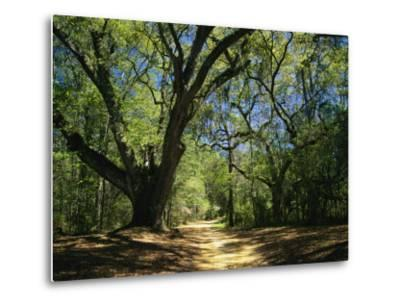 A Dirt Road Through a Forest Passes a Large Tree with Spanish Moss