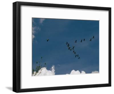 A Flock of Canada Geese Fly in Formation Above Wade Island
