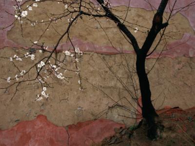 A Flowering Plum Tree Against a Wall Near