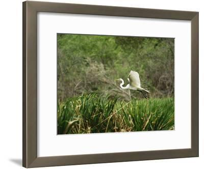 A Great Egret, Casmerodius Albus, Flying over Tall Grasses