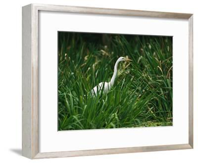 A Great Egret, Casmerodius Albus, Standing in Tall Grasses