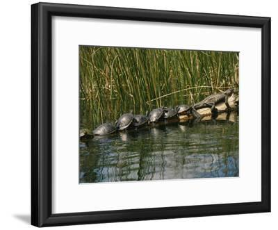 A Group of Aquatic Turtles and an American Alligator Bask on a Log