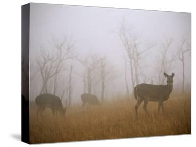 A Group of White-Tailed Deer Does Eating in Morning Fog