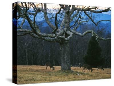 A Group of White-Tailed Deer Grazing under an Old Oak Tree