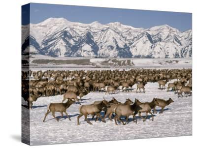 A Herd of Elk Moving Through the Snow Covered Rangeland of the National Elk Refuge
