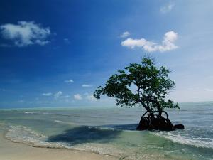 A Mangrove Tree Has Establishd Roots in the Shallow Waters of the Long Key State Recreation Area by Raymond Gehman