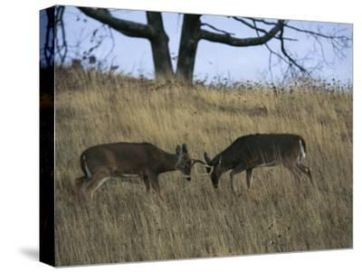 A Pair of White-Tailed Deer Bucks Butting Heads