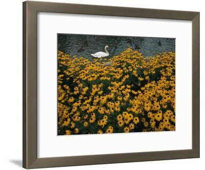 A Swan Swims Past a Beautiful Flower Bed
