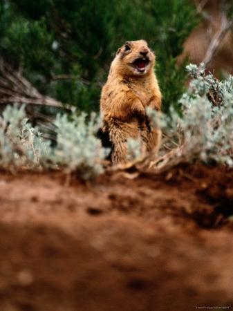 A Utah Prairie Dog Vocalizing in Bryce Canyon National Park, Utah by Raymond Gehman