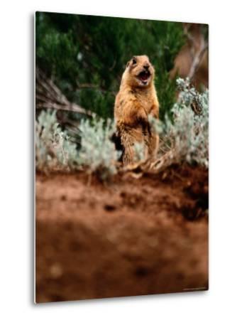 A Utah Prairie Dog Vocalizing in Bryce Canyon National Park, Utah