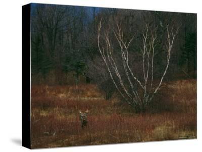 A White-Tailed Deer Buck Standing Near a Birch Tree in a Meadow