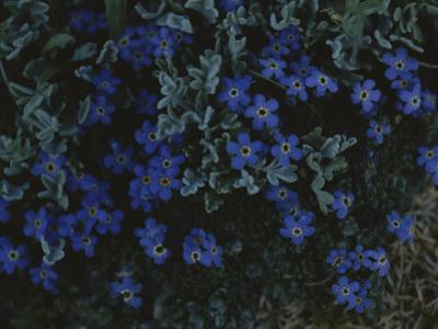 Alpine Forget-Me-Nots Wildflowers, Beartooth Wilderness, Wyoming