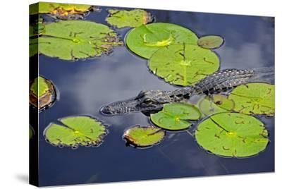 An Alligator Floats in the Afternoon Sun Amongst Lily Pads