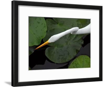 An Orange-Beaked Great White Egret Hunting Among Wetland Lily Pads