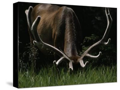 Antlers Sheathed in Summer Velvet, a Mature Bull Wapiti Grazes Near the Gibbon River