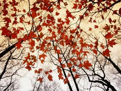 Bare Branches and Red Maple Leaves Growing Alongside the Highway by Raymond Gehman
