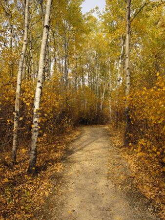 Birch Tree-Lined Trail in Hecla, Grindstone Provincial Park by Raymond Gehman