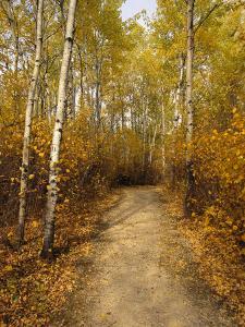 Birch Tree-Lined Trail in Hecla, Grindstone Provincial Park by Raymond Gehman