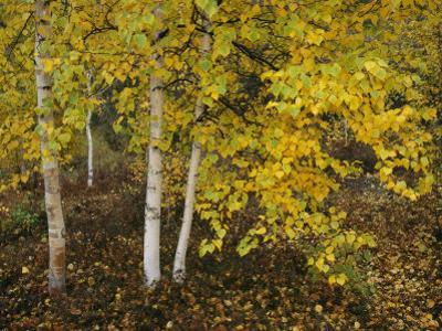 Birch Trees Along the Mackenzie River by Raymond Gehman
