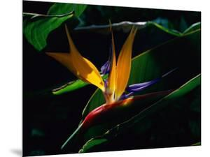 Bird of Paradise Flower by Raymond Gehman
