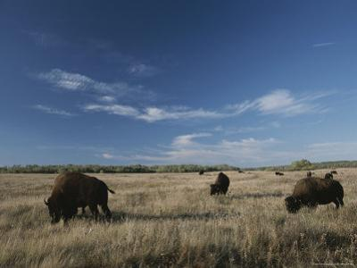 Bison Graze on a Field Set against a Blue Sky with Wispy Clouds by Raymond Gehman