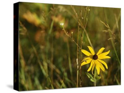 Black-Eye Susan Among Grasses and Weedy Plants