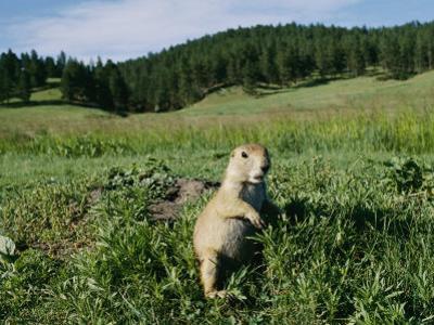 Black-Tailed Prairie Dog by its Burrow by Raymond Gehman