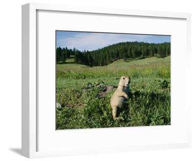 Black-Tailed Prairie Dog by its Burrow