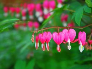 Bleeding Heart Flowers, Dicentra Spectabilis, in Bloom by Raymond Gehman
