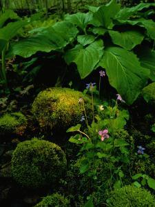 Blue Violets, Mosses, and Skunk Cabbage in a Red Maple Swamp by Raymond Gehman
