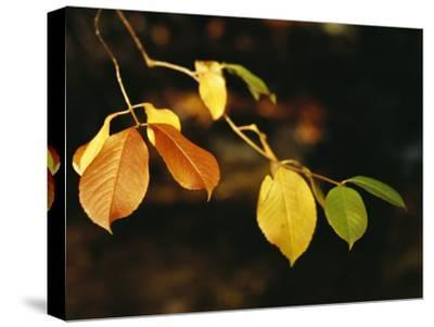 Branch of Sassafras Leaves in Fall Colors