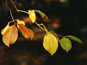 Branch of Sassafras Leaves in Fall Colors by Raymond Gehman