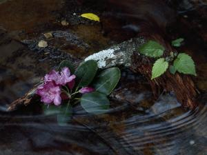Catawba Rhododendron Blossom in a Mountain Stream in Hanging Rock State Park, North Carolina by Raymond Gehman