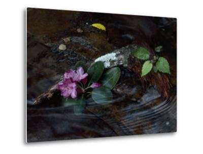 Catawba Rhododendron Blossom in a Mountain Stream in Hanging Rock State Park, North Carolina