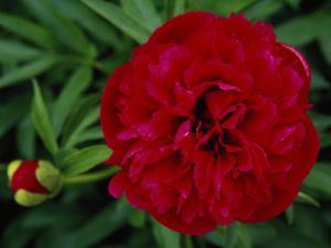 Close Up of a Peony Flower by Raymond Gehman
