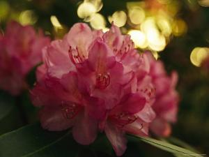 Close View of a Blooming Rhododendron by Raymond Gehman