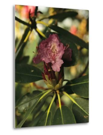 Close View of a Blooming Rhododendron