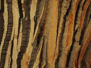 Close View of Bark on an Old Growth Cottonwood Tree by Raymond Gehman