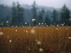 Cotton Grass, Sedges and a Red Spruce Forest in a Bog by Raymond Gehman