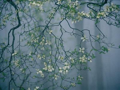 Dogwood Blossoms in a Foggy Forest