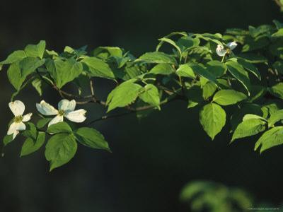 Dogwood Tree Branch with Blossoms by Raymond Gehman