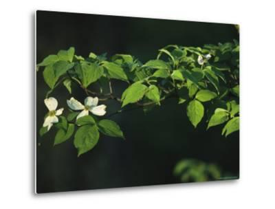 Dogwood Tree Branch with Blossoms