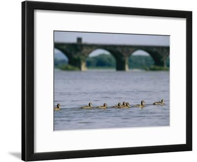 Ducks Paddle Across the Susquehanna River Near the Rockville Bridge