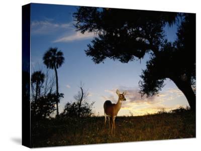 Eastern White-Tailed Deer