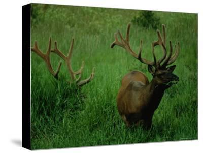 Elk Nibbling on Tall Grass