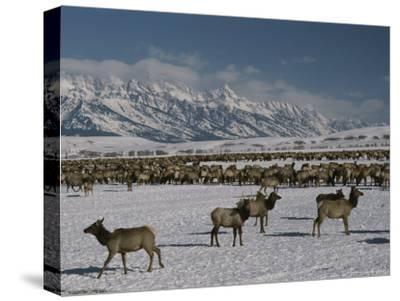 Elk or Wapiti at the National Elk Refuge Jackson, Wyoming