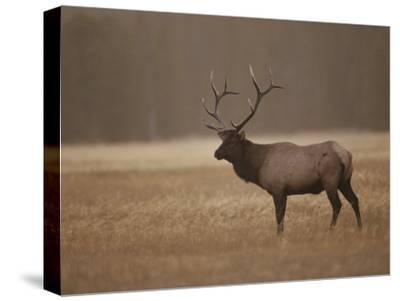 Elk or Wapiti Bull at Sunset, Yellowstone National Park, Wyoming