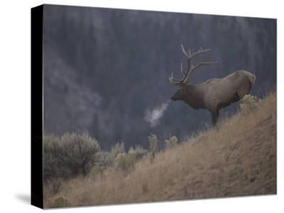 Elk or Wapiti Bull on a Hillside in Yellowstone National Park