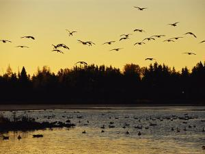Flock of Geese Flies Over a Manitoba Lake at Sunset by Raymond Gehman