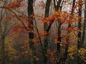 Fog and Colorful Maple Leaves in Appalachian Forest on Paint Mt. Road by Raymond Gehman